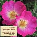 "Rosa ""American Pillar"". 03.jpg"