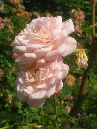Rosa 'Abraham Darby' - Image: Rosa Abraham Darby