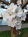 Rosales - Prunus padus - 16.jpg