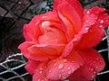 Rose (263516399).jpg