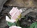 Rose (8926003920).jpg