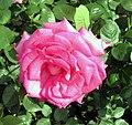 Rose Esmeralda.jpg