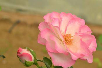 Rose Flower (Pink Border).jpg