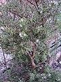 Rosmarinus officinalis (rosmarino) 02.JPG