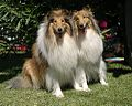 Rough Collie Couple.jpg