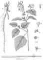 Rozier - Cours d'agriculture, tome 5, pl. 16 guimauve.png