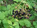 Rubus.jpg