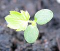 Rubus occidentalis seedling.jpg