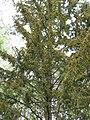 Rucavas īvju audze 2019 06.jpg