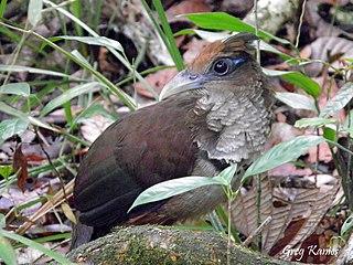 Rufous-vented ground cuckoo Species of bird