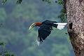 Rufous Necked Hornbill.jpg