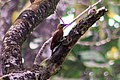 Rufous woodpecker at Chtwan National Park (1).jpg