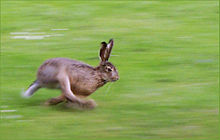 Nanabozo, lapin esprit farceur dans LAPIN - LIEVRE 220px-Running_hare