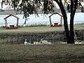 Rusanda629 swans lake.jpg