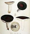 Russula furcata — Flora Batava — Volume v19.jpg