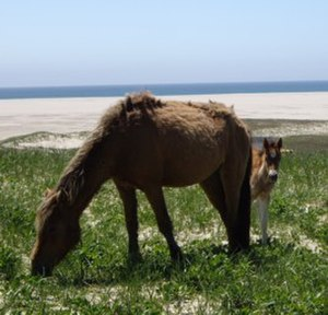 Sable Island National Park Reserve - Sable Island Pony and foal