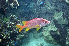 Sabre squirrelfish Sargocentron spiniferum (5834349511).jpg