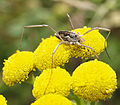 Saddleback Harvestman on Tansy (9631752750).jpg