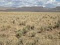 Sagebrush steppe converted to crested wheatgrass (9675841152).jpg