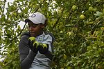 Sailors pick apples for North Whidbey Help House 160923-N-WQ574-007.jpg