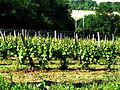 Saint-Lanne Vignes palissées de l'AOC Pacherenc-du-vic-bilh.JPG