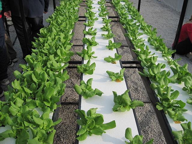 Salad dengan sistem NFT