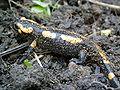 Salamandre-salamander-1.jpg