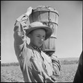 Salinas Valley, Monterey County, California. Piece-time work in peas. Coming in from the field with a full hamper of... - NARA - 532155.tif
