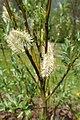 Salix lapponum kz19.jpg
