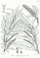 Salix tetrasperma Bra58.png