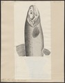 Salmo fario ausonii - 1700-1880 - Print - Iconographia Zoologica - Special Collections University of Amsterdam - UBA01 IZ14800027.tif