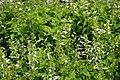 Salvia coccinea Hummingbird White 2zz.jpg