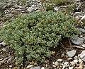 Salvia dorrii var clokeyi 1.jpg