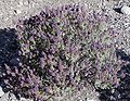Salvia dorrii whole.jpg