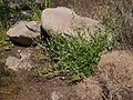 Samolus eremaeus plant.jpg