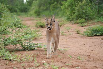 Caracals inhabit dry areas with some cover. SanWild07a.jpg
