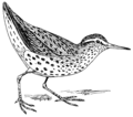Sandpiper (PSF).png