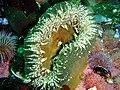 Sandy anemone at Partridge Point P7190550.JPG