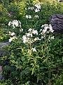 Saponaria officinalis sl14.jpg