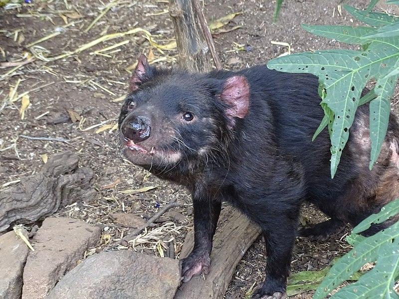 File:Sarcophilus harrisii, Trowunna (3).jpg