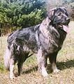 Sarplaninac dog aka Illyrian Dog or Dog of Sharr 4 (Photograph).jpg
