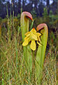 Sarraceniaceae - Sarracenia minor-2.jpg