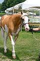 Sato, Palomino Sabino Purebred Thoroughbred Stallion (5972177638).jpg