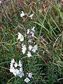 Satureja montana PID2020-1.jpg