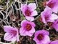 Saxifraga oppositifolia (saxífraga opositifòlia) (16657160014).jpg