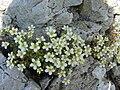Saxifraga pubescens ssp iratiana 1.jpg