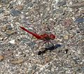 Scarlet Percher. Diplacodes haematodes. Libellulidae - Flickr - gailhampshire.jpg