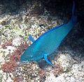 Scarus vetula (queen parrotfish) (San Salvador Island, Bahamas) (15548372734).jpg