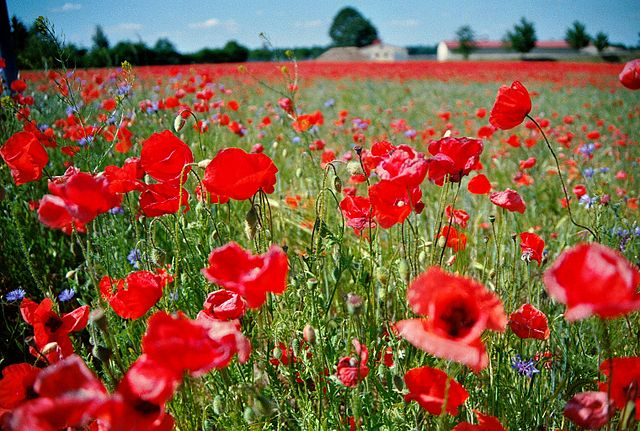 Poppies... I feel sleepy.../ Wikimedia Commons