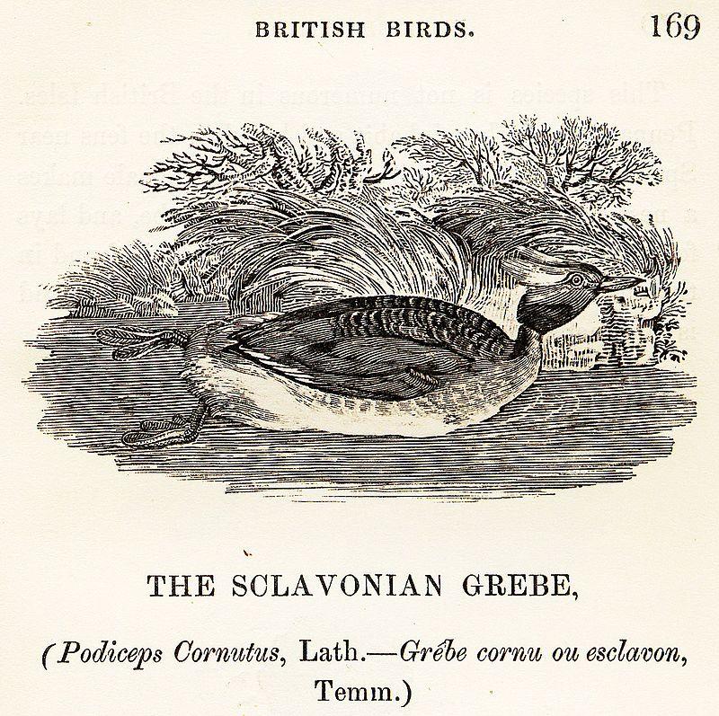 Sclavonian Grebe Thomas Bewick 1804.jpg